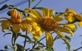 Hoa dã quỳ vàng rực phố núi Pleiku