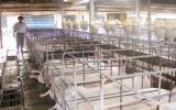 Công ty TNHH MTV Chăn nuôi Vifaco: Năm 2009, cung cấp trên 14.000 con heo giống cho nông dân