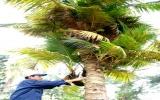 Cây dừa kỳ lạ có hơn 100 nhánh