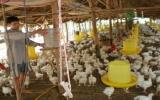 Tiêm phòng dịch cúm gia cầm: Những nỗ lực đáng ghi nhận