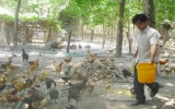 Thanh niên lập nghiệp: Lợi nhuận cao từ mô hình nuôi gà ta thả vườn