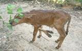 Chú bê 6 chân ở Đồng Nai