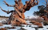 Cây thông hơn 4.800 tuổi