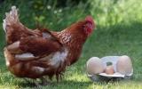 Con gà mái đẻ 2 quả trứng to kỷ lục