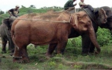 Bắt được voi trắng quý hiếm ở Myanmar