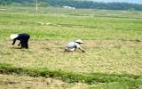 Hạn nặng, gần 200.000 ha lúa ở Bắc Trung Bộ khát cháy