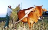 """""""Nghiến răng"""" cắt lúa nuôi... bò!"""