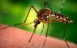 Muỗi lạ xuất hiện dày đặc trên địa bàn Kiên Giang