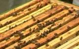 Ong mật giúp làm sạch không khí