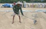 Tiêu thụ lúa ở ĐBSCL: Thương lái thờ ơ, nông dân lo lắng
