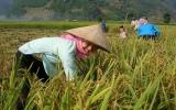 Năng suất lúa châu Á sẽ giảm