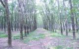 Cao su rụng lá do nhiễm bệnh: Nông dân đừng quá hoang mang