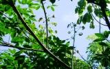 Bệnh cao su rụng lá: Nông dân cần phải chủ động phòng ngừa