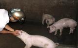 Chính phủ hỗ trợ phòng, chống dịch lợn tai xanh