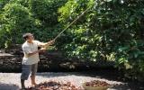Tiếp tục nâng cao chất lượng vườn cây ăn trái Lái Thiêu