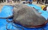 Bạc Liêu: Cá ông nặng 4 tấn dính lưới