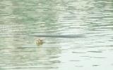 Cụ rùa hồ Gươm nổi sáng 10-10