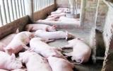 """Ngăn chặn Dịch heo """"tai xanh"""" ở Lai Hưng (Bến cát): Cần sự tự giác hợp tác của người chăn nuôi!"""