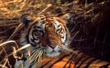 Hổ có nguy cơ tuyệt chủng trong 12 năm tới