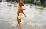 Chú chó thích đi bằng hai chân
