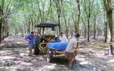 Xã Định An (Dầu Tiếng):  Nhiều nông dân khốn đốn vì cao su bị bệnh vàng và rụng lá