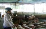 Phòng chống dịch heo tai xanh: Kinh nghiệm từ Phú Giáo