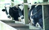 Nghề nuôi bò sữa: Cần hướng đến quy mô lớn và chuyên nghiệp hơn