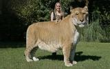 Mèo lai nặng hơn 400kg