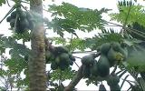 Cây đu đủ 7 nhánh 'đẻ' hơn 100 trái