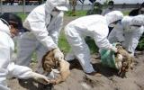 Cảnh giác nguy cơ tái phát dịch cúm gia cầm