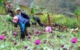 Một xã trồng tới hơn 12.000m2 thuốc phiện