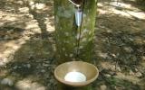 Bệnh rụng lá cao su do nấm Corynespora đã giảm mạnh