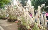 Bông cỏ lau