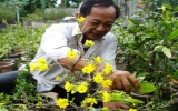 TP.HCM: Người trồng mai lo đợt triều cường đầu năm