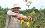 Nông dân yên tâm với mai Tết Tân Mão