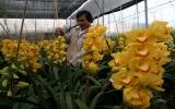 Hoa lan Đà Lạt giá 1,5 triệu đồng một cành