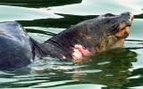 Hà Nội: Ngày 25-2 chốt phương án chữa trị rùa hồ Gươm