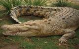 Cá sấu Australia cũng bị