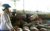 Cảnh giác với dịch lở mồm long móng trên đàn gia súc
