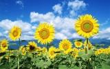 Khử đất nhiễm phóng xạ bằng cây hoa hướng dương