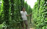 Hiệu quả từ mô hình trồng lá vang