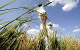 Nguy cơ từ lương thực biến đổi gen
