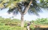 Đồn thổi cây dừa 3 ngọn giá... 1 triệu USD