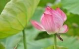 Sen hồng dẫn đầu danh sách bình chọn Quốc hoa