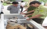 Bàn giao xác một con hổ 156,5kg cho Bảo tàng Bình Dương làm tiêu bản