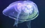 Anh: Nhà máy hạt nhân đóng cửa vì sứa