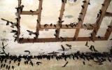 Phát triển mô hình nuôi chim yến trong nhà