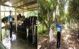 Vươn lên làm giàu bằng mô hình nuôi bò sữa