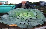 Cây bắp cải nặng gần 13 kg