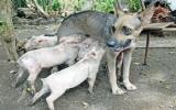 Chó mẹ nuôi… đàn heo con